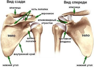 Лопточный остеохондроз является патологией нервной системы
